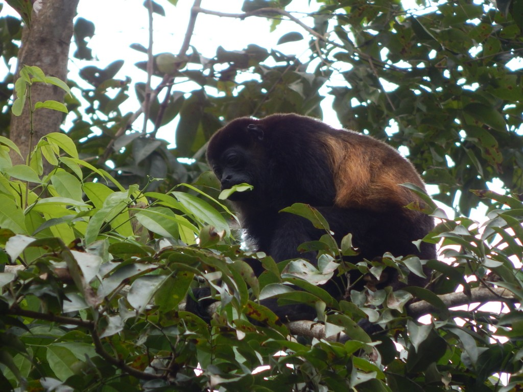 Howler Monkey, The Curse of Puerto Viejo-Costa rica