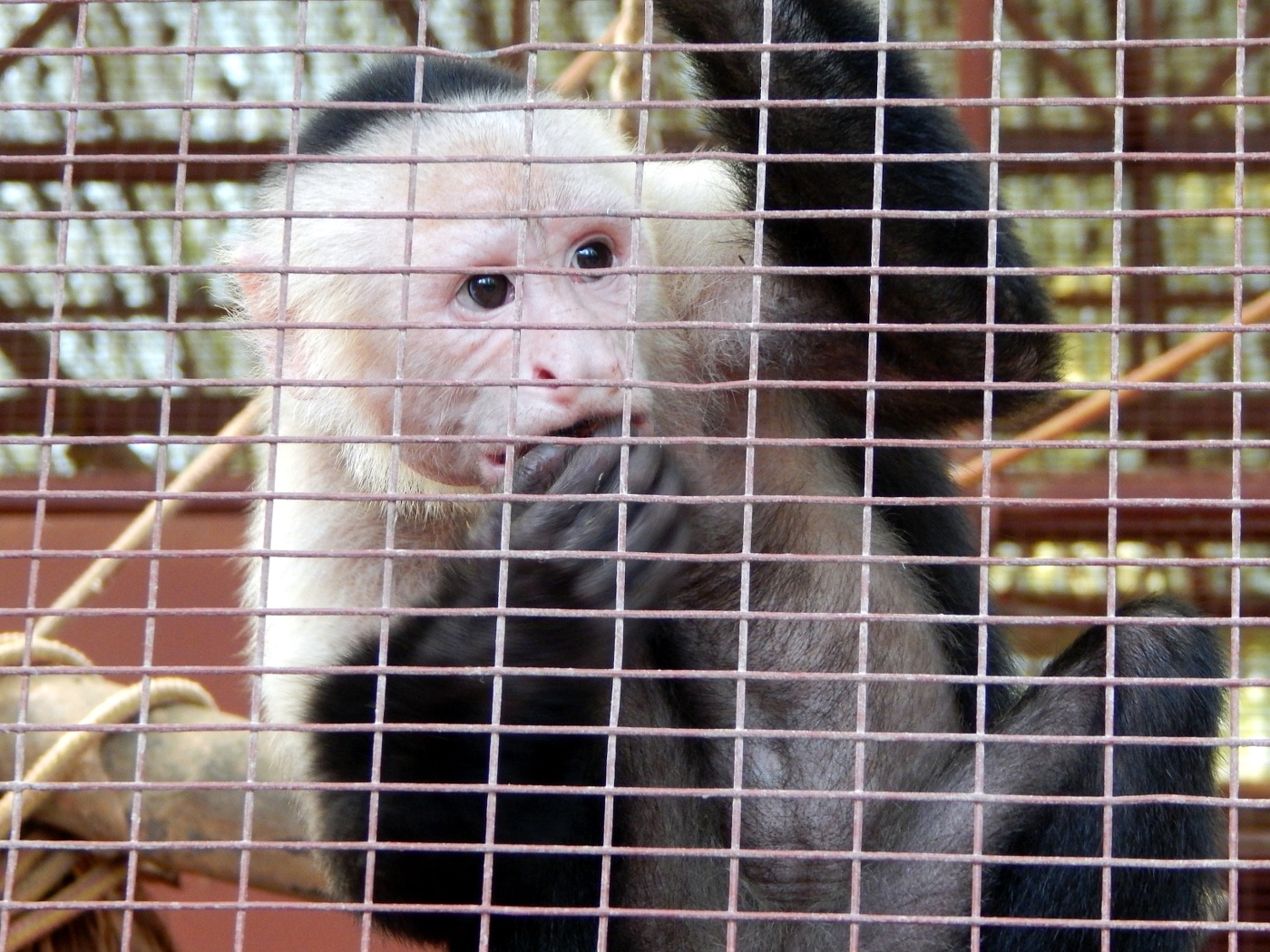 Jaguar Rescue Center Capuchin Monkey